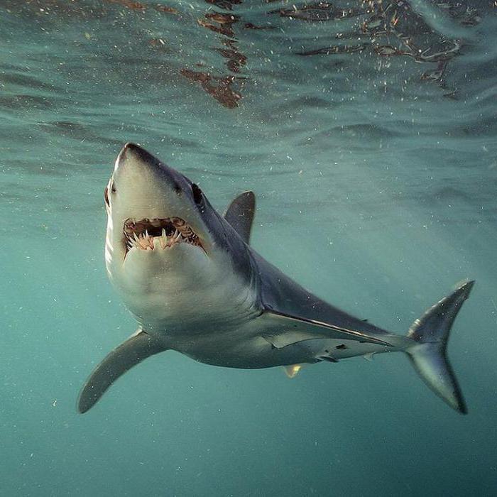 where mako shark lives