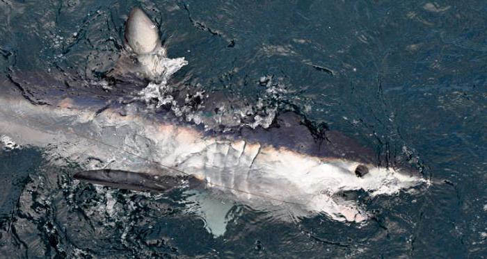 mako is a large aggressive shark