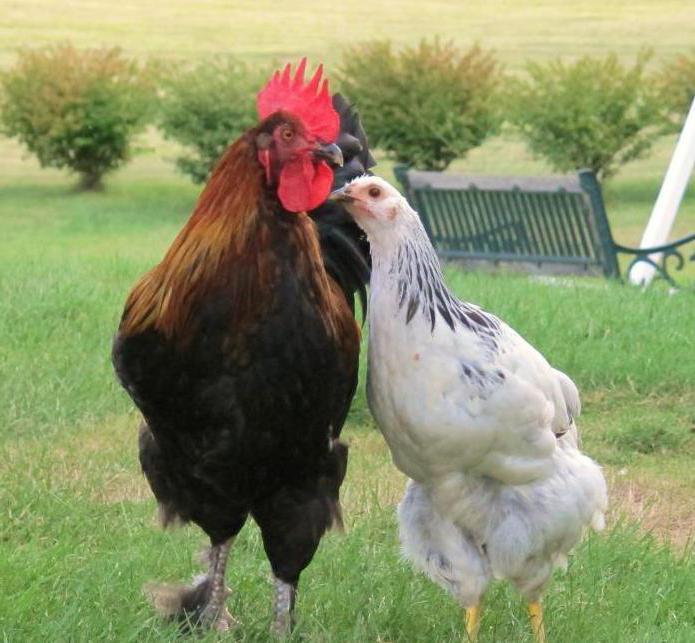 Как петухи оплодотворяют курицу? Как определить оплодотворенное яйцо курицы