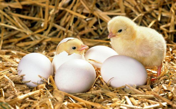 Chicken eggs hatching