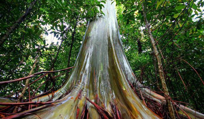 Высокое дерево в мире