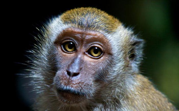 java macaque Price