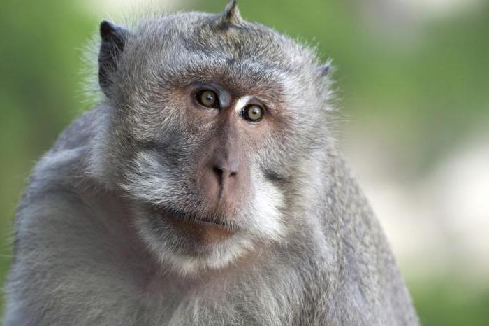 java macaques or crabeaters