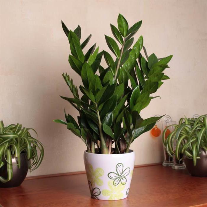 долларовое дерево комнатное растение как ухаживать
