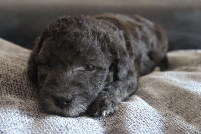 bedlington terrier breed description