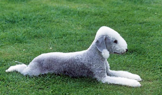 breed bedlington terrier