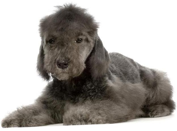 dogs bedlington terrier