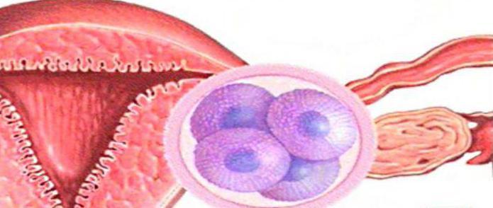 Через сколько оплодотворенная яйцеклетка прикрепляется к матке 34