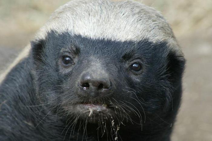 Honey badger (animal) lifestyle