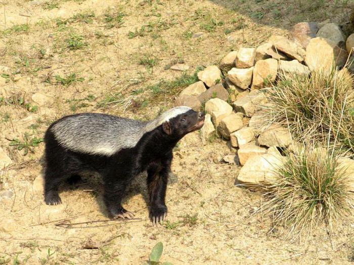 Honey badger (animal): photo