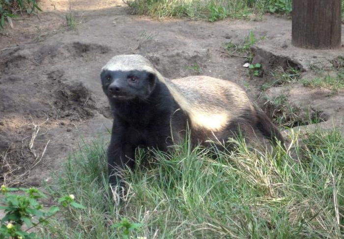 Honey badger: animal