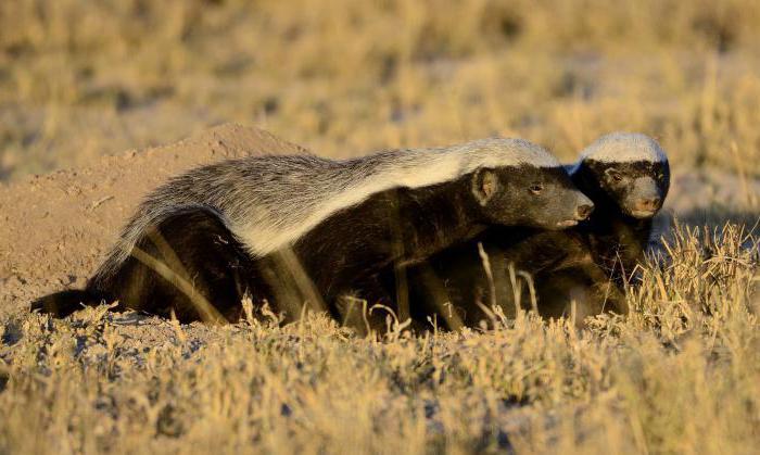 Honey badger (animal): what feeds on