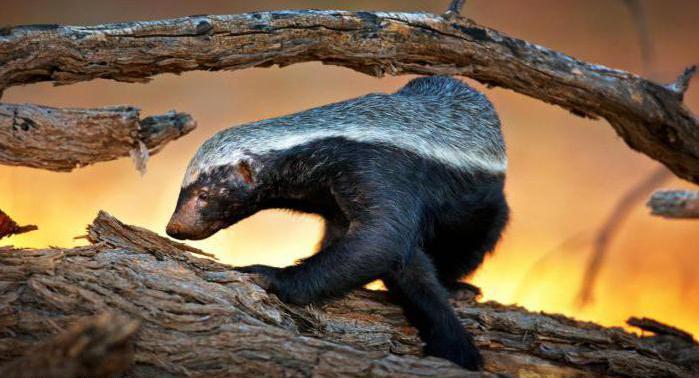 Honey badger (animal): bald badger