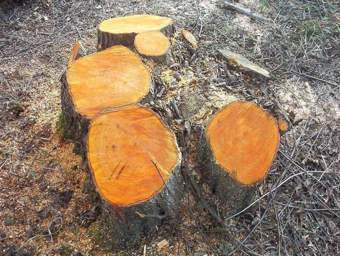 Дерево ольха серая