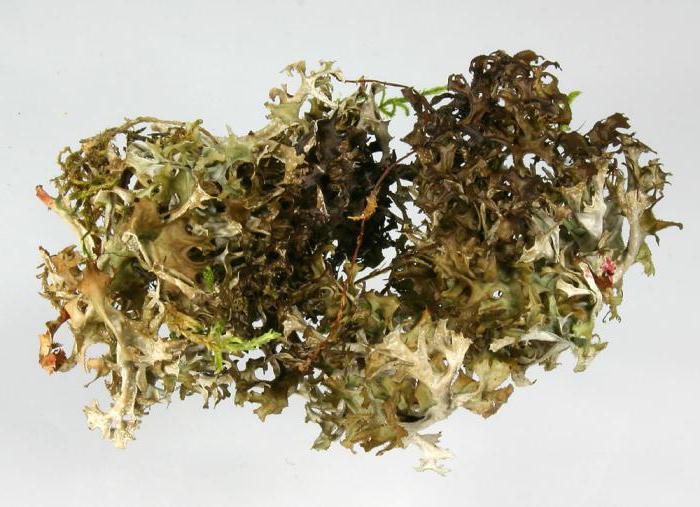 трава исландский мох лечебные свойства