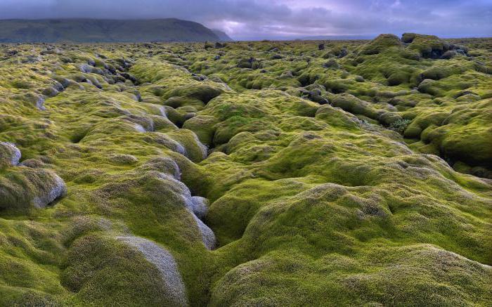 исландский мох лечебные свойства рецепты