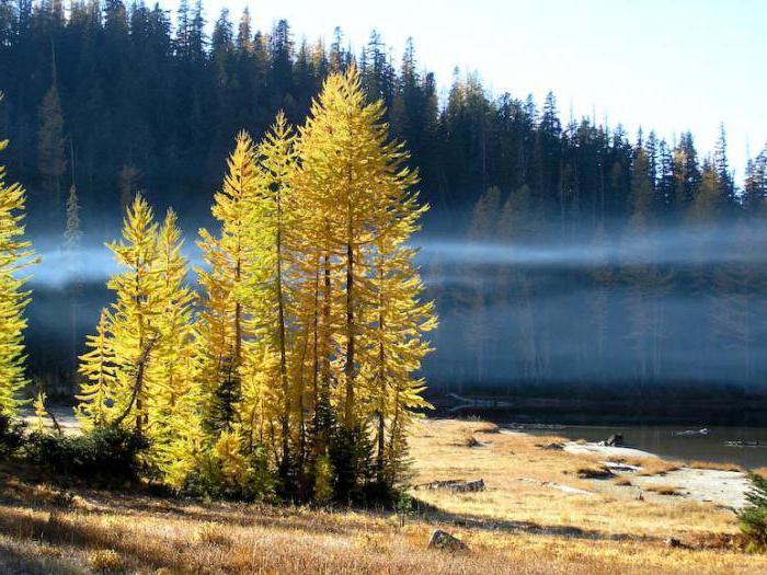 лиственница это лиственное или хвойное дерево