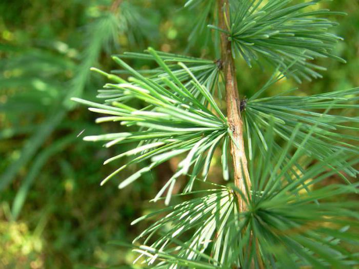 какое дерево лиственница хвойное или лиственное