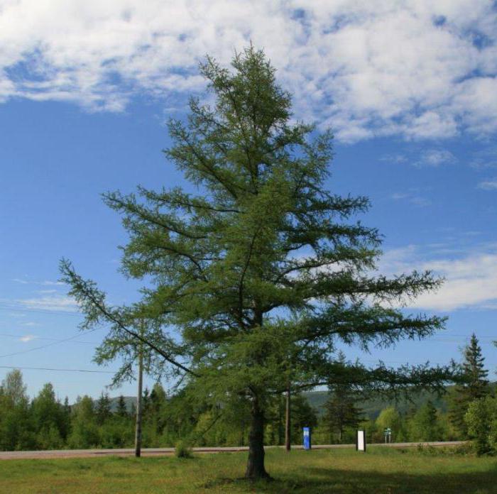 лиственница относится к хвойным или лиственным деревьям