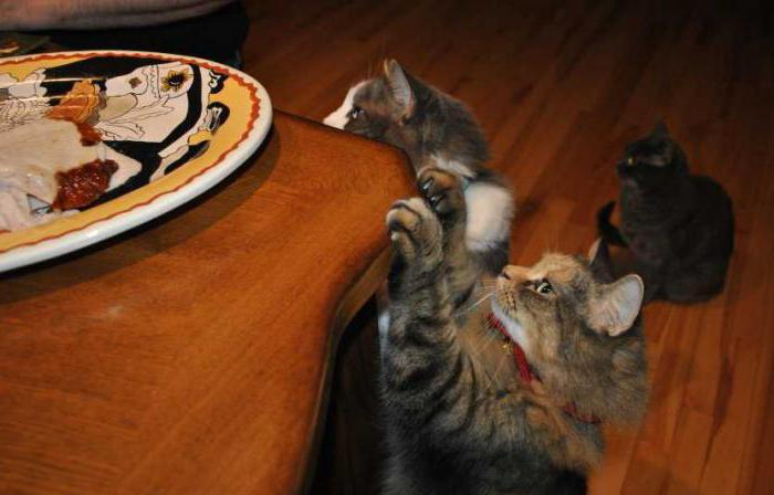 how to wean a cat climbing tables and eating food