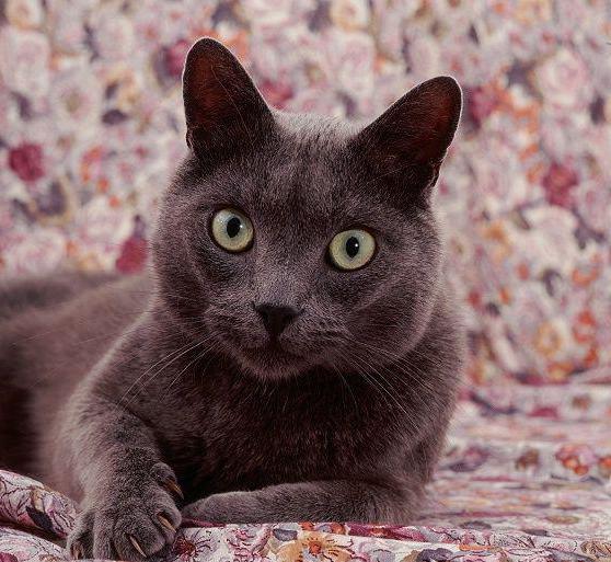 Описание породы кошек корат