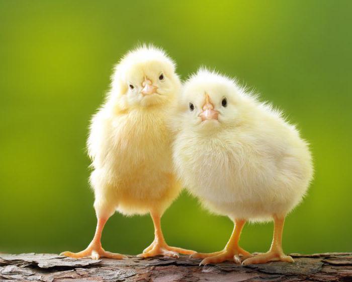 цыплят по осени считают значение пословицы