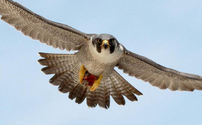 meaning of idiom goal like a falcon