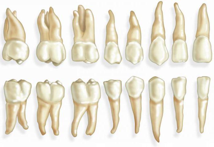 форма корней нижних зубов человека фото того, что