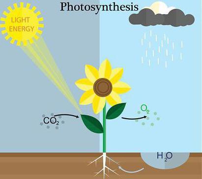 Фотосинтез: что такое
