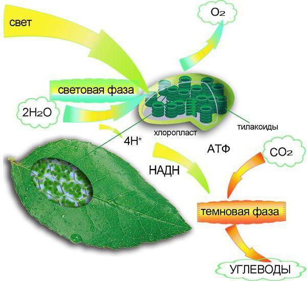 Фотосинтез происходит в