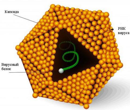 Прививка от гепатита а взрослым побочные эффекты 22