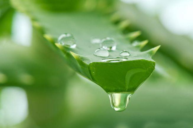 aloe healing properties and contraindications