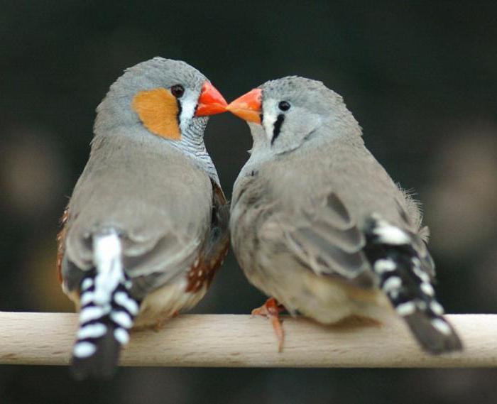 как спариваются птицы
