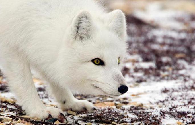 Arctic fox in the tundra