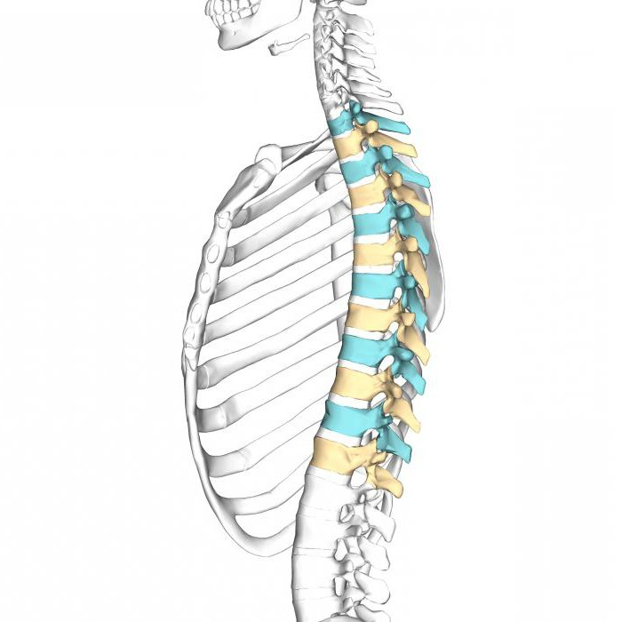 how many vertebrae in the thoracic