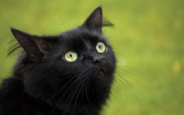 обои на рабочий стол черная кошка с зелеными глазами № 174235 бесплатно