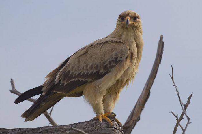 Steppe Eagle how many lives