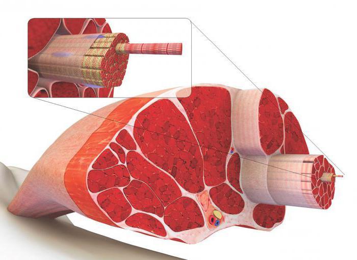 мышцы виды мышц