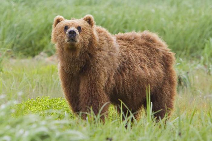 масса бурого медведя