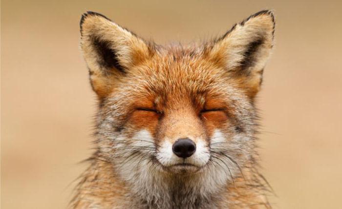 ловушка для лисы