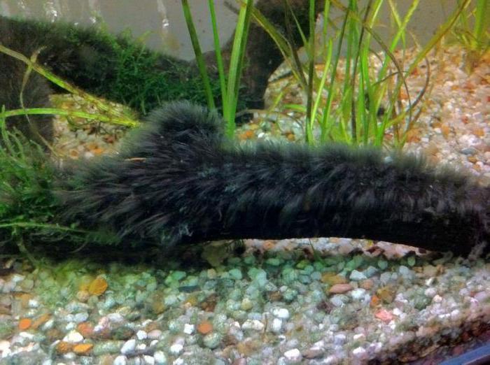 черная борода в аквариуме картинки той