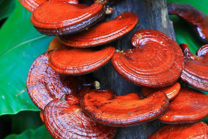 chinese mushroom lingzhi