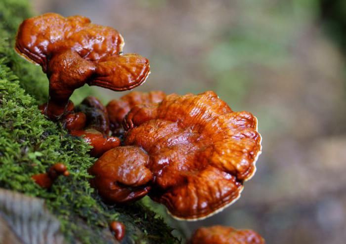 Lingzhi mushroom healing properties