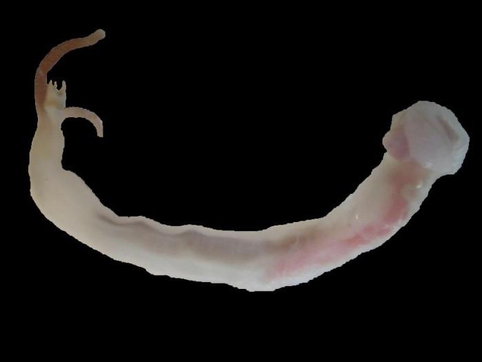 Shipworms photo