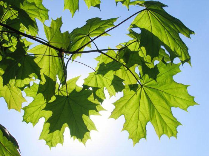 как вырастить клен из семян