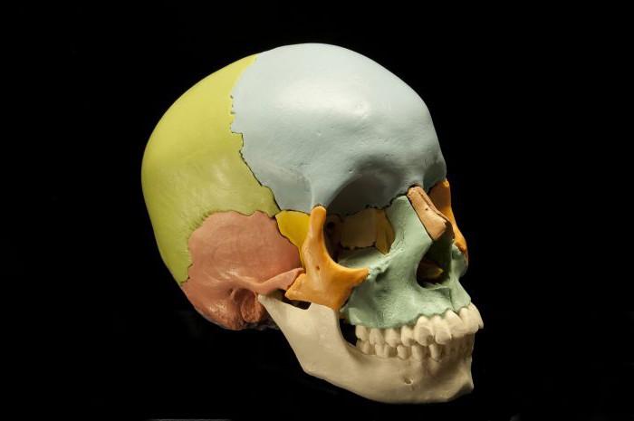 череп соединение костей черепа