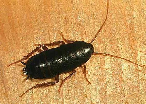крылья черного таракана