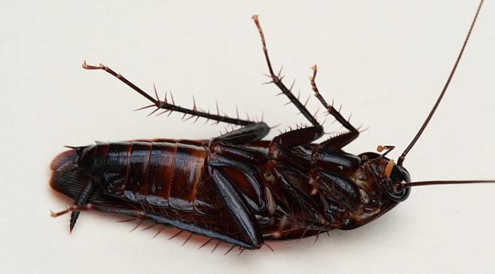 длина черного таракана
