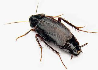 тараканы насекомые черные