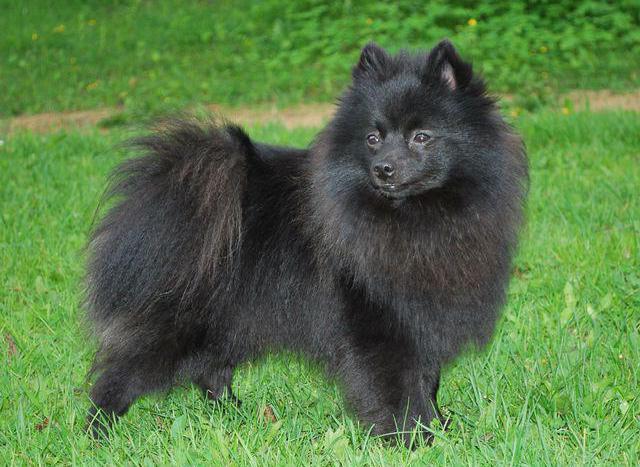 pomeranian black